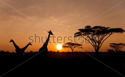 Obraz Setting sun with silhouettes of Giraffes and Acacia trees on Safari in Serengeti National Park