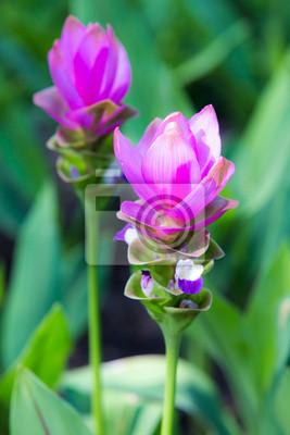 Siam Tulip różowy