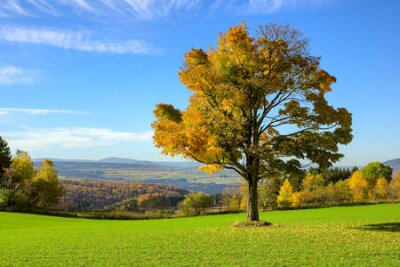 Obraz Single autumn tree on a meadow with blue colored mountain background at ore mountains germany