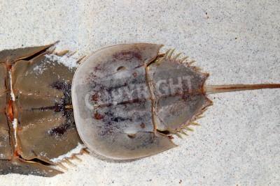 Skrzypłocz Limulus polyphemus