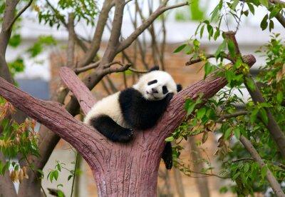 Obraz Sleeping Giant dziecko panda