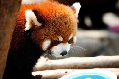 Obraz Śliczna czerwona panda