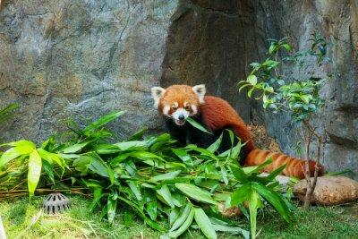 Obraz Śliczna czerwona panda jedzenia bambusa