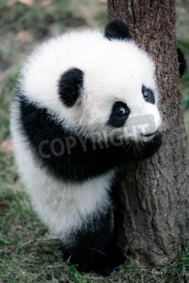 Obraz Słodka mała panda
