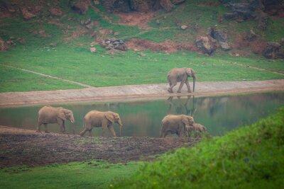 Obraz Słoń afrykański stada wody pitnej na krawędzi wody w Republice Południowej Afryki