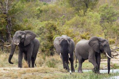 Obraz Słoń afrykański w parku Narodowym Krugera