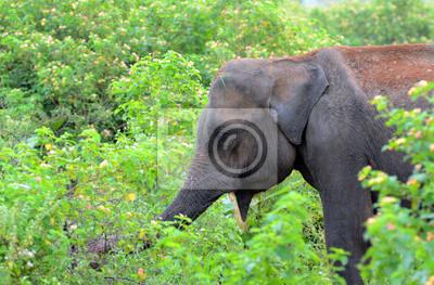 Słoń. Park Narodowy Uda Walawe, Sri Lanka. Azja.