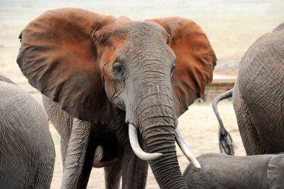 Obraz Słoń w parku narodowego Kenii