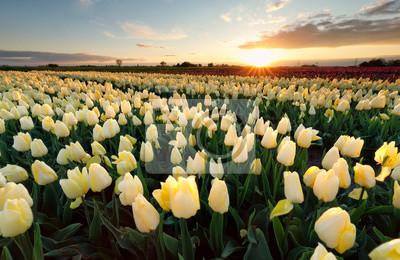 Obraz słońce nad żółtym polem tiulip