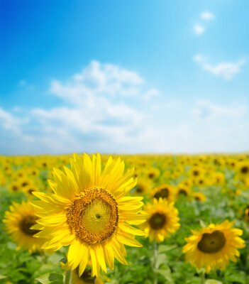 Obraz Słonecznik bliska na polu