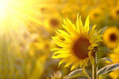 Obraz Słonecznik na łące w świetle zachodzącego słońca