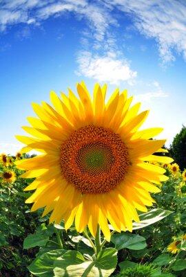 Obraz Słonecznik w niebo latem