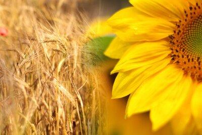 Obraz Słoneczniki i niwa