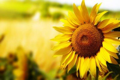 Obraz Słoneczniki Toskania