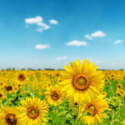 Obraz słoneczny dzień na polu słoneczników