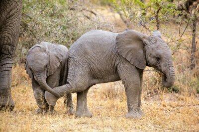 Obraz Słonie afrykańskie zabawy dla dzieci