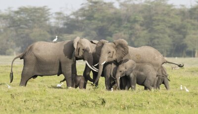 Obraz słonie chroniące nowo narodzonych cielę.