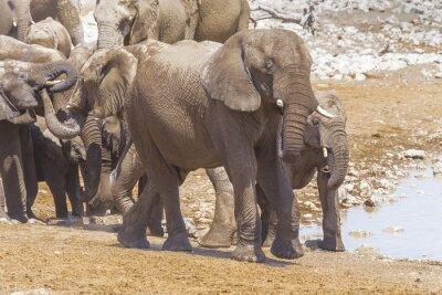 Obraz Słonie w Parku Narodowym Etosha w Namibii
