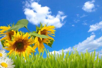 Obraz sonnenblumen, Himmel und Wiese