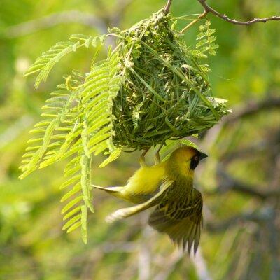 Obraz Southern Masked Weaver w jego gniazdo na akacji