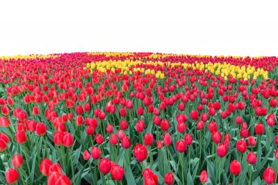 Obraz Spring coloful tulip bulb flower field isolated on white background