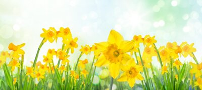 Obraz Spring Easter background with beautiful yellow daffodils.