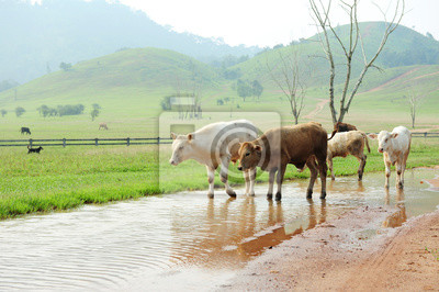 Stado krów w zielonej trawie górskich (pora deszczowa) w Ranong, południowej Tajlandii.