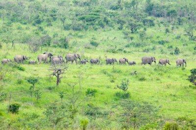 Obraz Stado słoni w zaroślach w Umfolozi Game Reserve, Republika Południowej Afryki, założona w 1897 roku