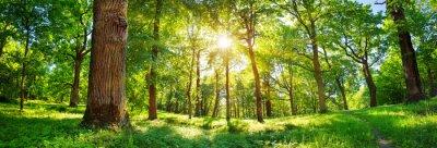 Obraz stare drzewo dębowe liści w świetle poranka z promieni słonecznych