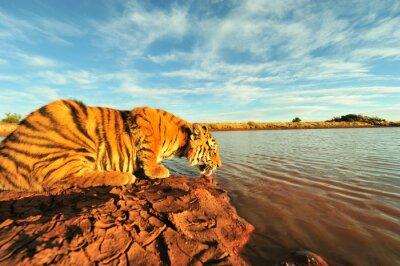 Obraz Strzał młodego tygrysa drinka