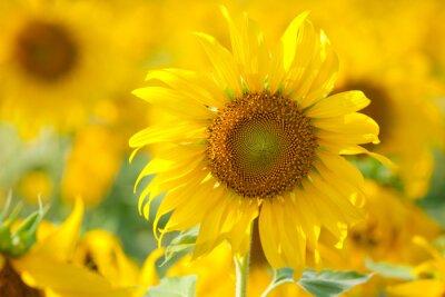 Obraz Sun flower