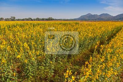 Obraz .Sunhemp field (Crotalaria juncea) in Thailand.