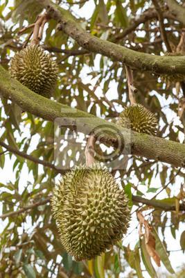 Świeże Durian na drzewie.