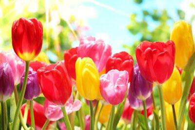 Obraz Świeże tulipanów w ciepłym słońcu
