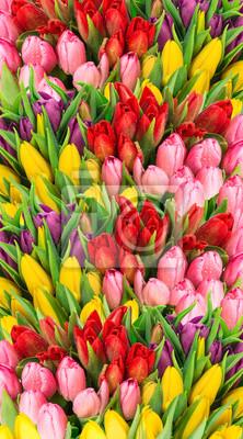 Obraz Świeże wiosenne kwiaty tulipanów krople wody
