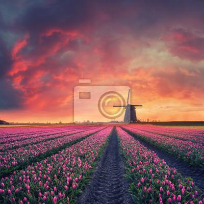 Obraz Świt nad pole tulipanów i wiatrak