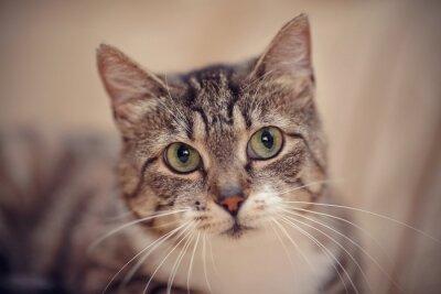 Obraz Szare paski kot z zielonymi oczami.