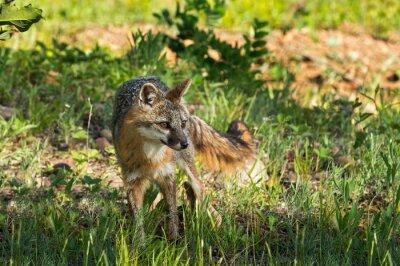 Obraz Szary Fox Vixen (urocyon cinereoargenteus) Wygląda na prawym