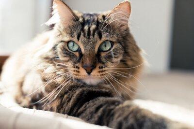 Obraz Szary kot leżący na łóżku