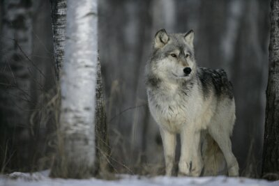 Obraz Szary Wilk, Canis lupus
