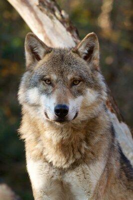 Obraz Szary Wilk - Canis Lupus
