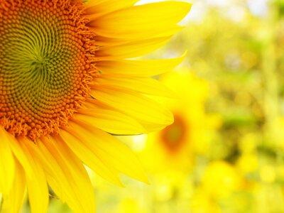 Obraz Szczegóły abstrakcyjne tło z bokeh Sunflower