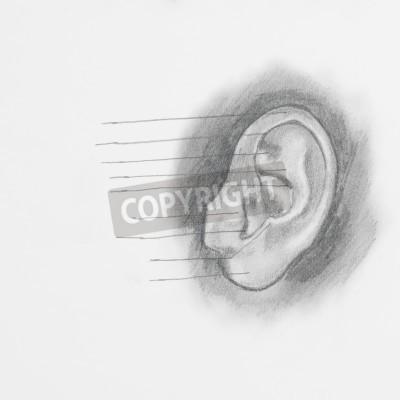 Obraz Szczegóły Ucho Rysunek Ołówkiem Na Białym Papierze Na Wymiar