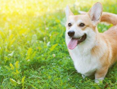 Obraz Szczęśliwy pies Welsh Corgi Pembroke w letni dzień