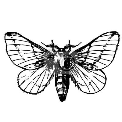 Szkic Tatuaż Motyl Paź Królowej Obrazy Redro