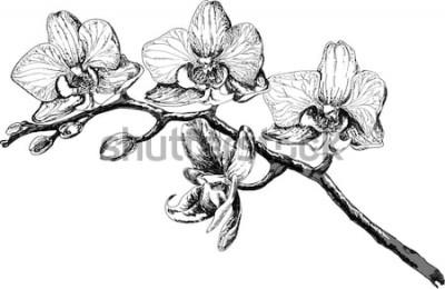 Obraz Szkic wektor kwiat orchidei