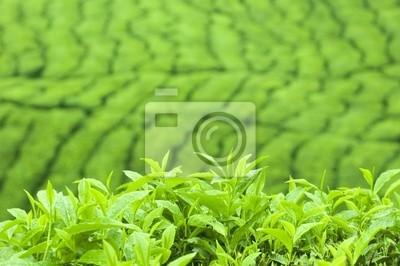 Tea Leaf z plantacji w tle (rano)