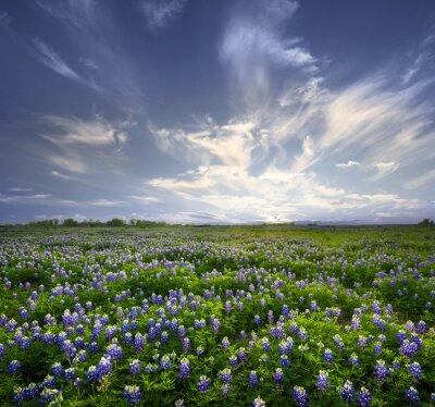 Obraz Texas Bluebonnet Field of Wildflowers
