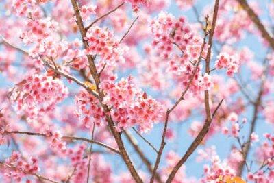 Obraz Thai Sakura flower  background in winter season on tree, prunus cerasoides at  Chaing mai Province, Thailand.