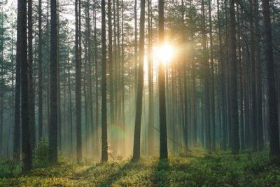 Obraz The rays of the morning warm sun pass through the pine forest in the early summer morning.